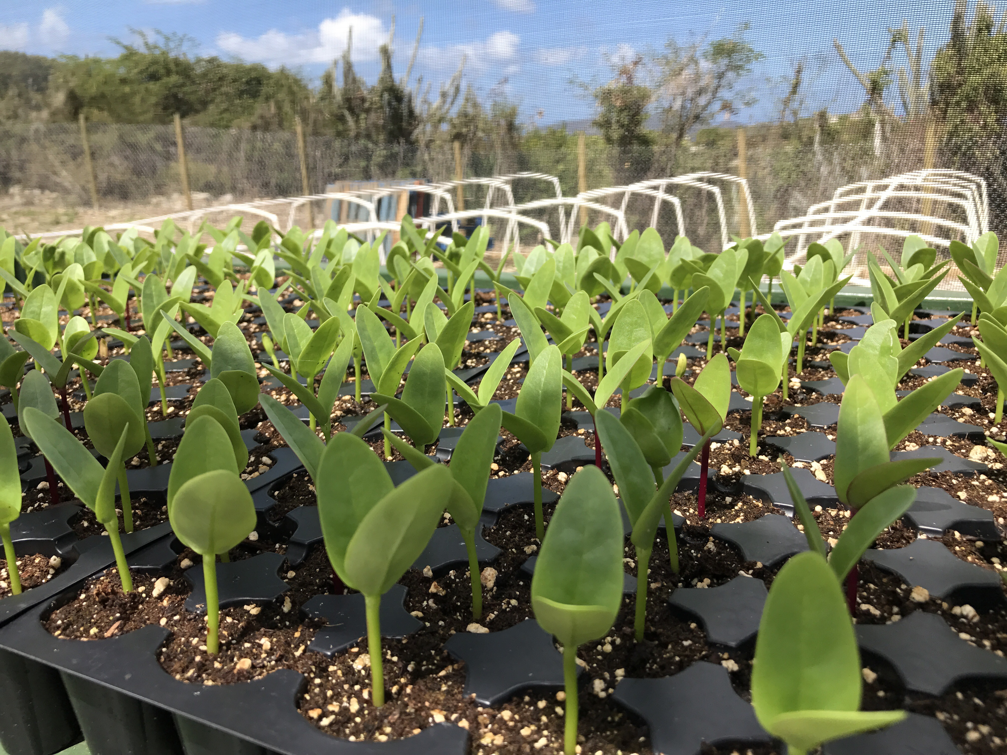 Farm to fork initiative at Brandywine Restaurant, Tortola, British Virgin Islands