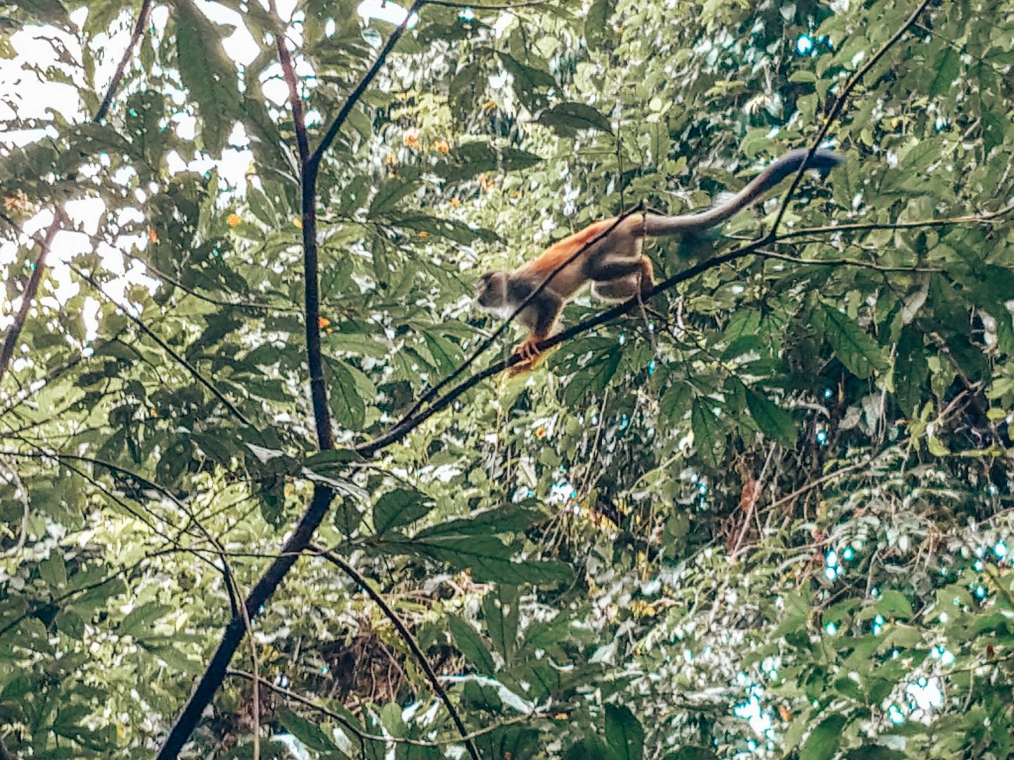 Manuel Antonio National Park - Spider Monkey
