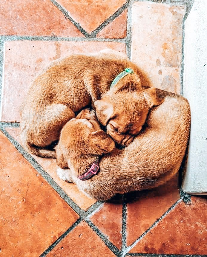 Adopting Puppies from the British Virgin Islands - Island Dogs available in the United States
